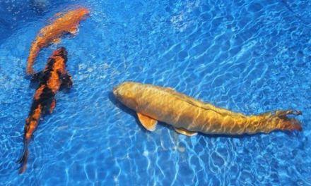Pesci esotici a due passi dalla Parma.Intervista con Marco Reggiani allevatore di carpe giapponesi e storioni
