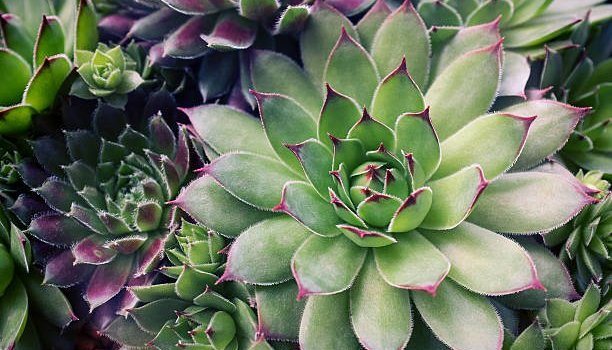 water succulents