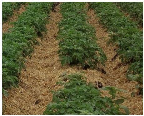 Mulch in field