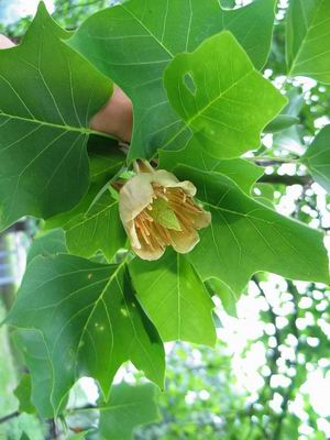 Tulpenboom__Liriodendron_tulipiferabloem