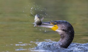Cormorant with Fish by Terri Adcock