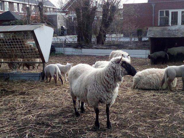 Lammetjes in de wei, het is lente