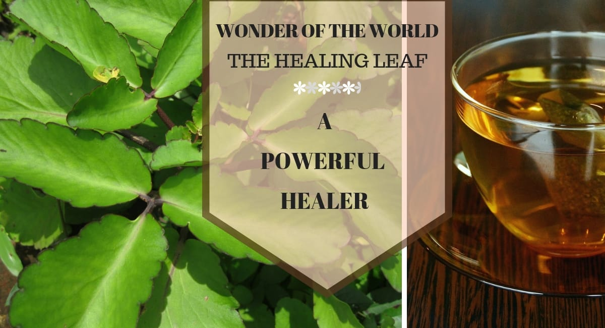 Wonder of The World Plant – The Wonder Healer