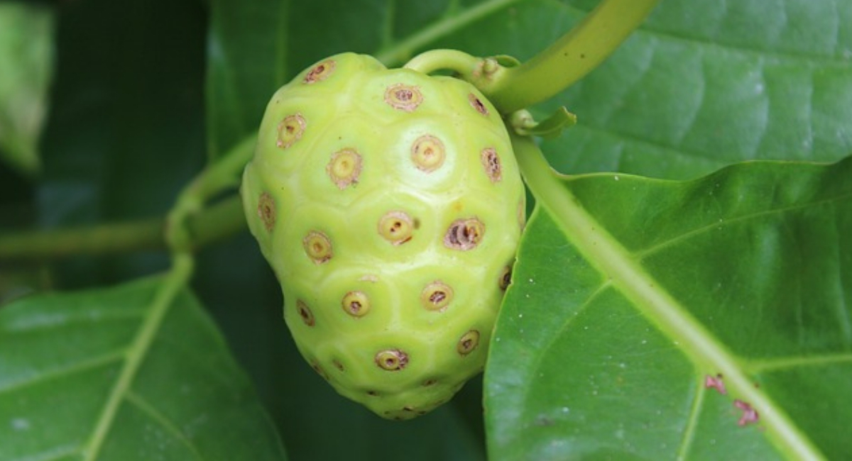 Noni Fruit – Defined As One of The Most Powerful Superfoods