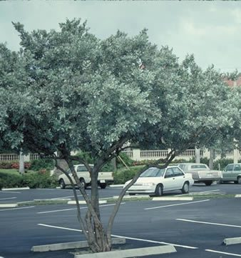 Silver Buttonwood - medium, 30 ft,, purchase single trunked for street. Staff's choice