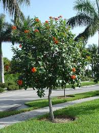 Geiger - decorative tree, small, 15-20 ft, 2 inch wide orange flower, can bloom year round, best June & July. Exists on Pine Tree Dr at 28th St.