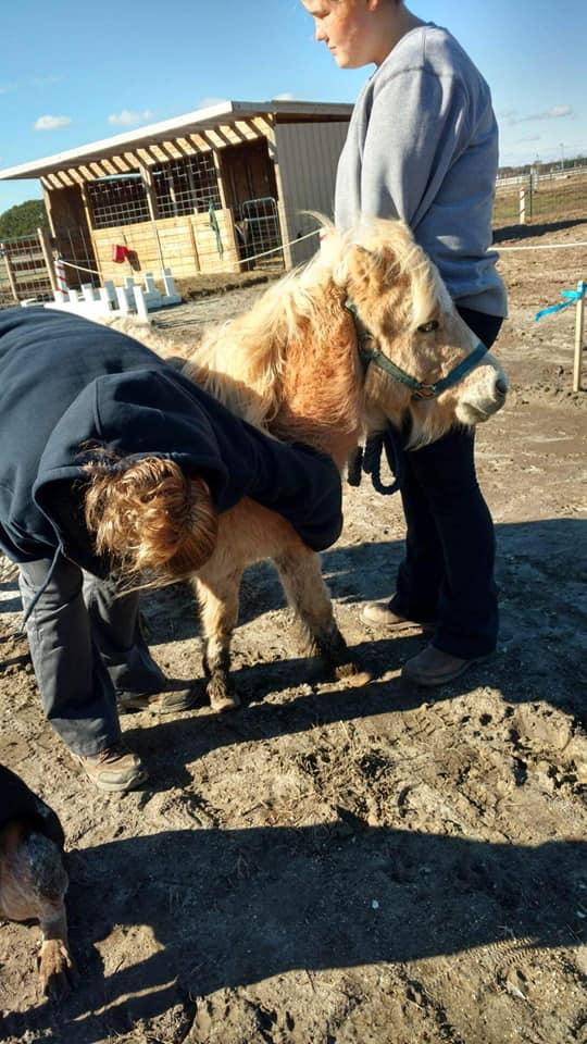 currituck pony rescued 3_1544046113917.jpg.jpg