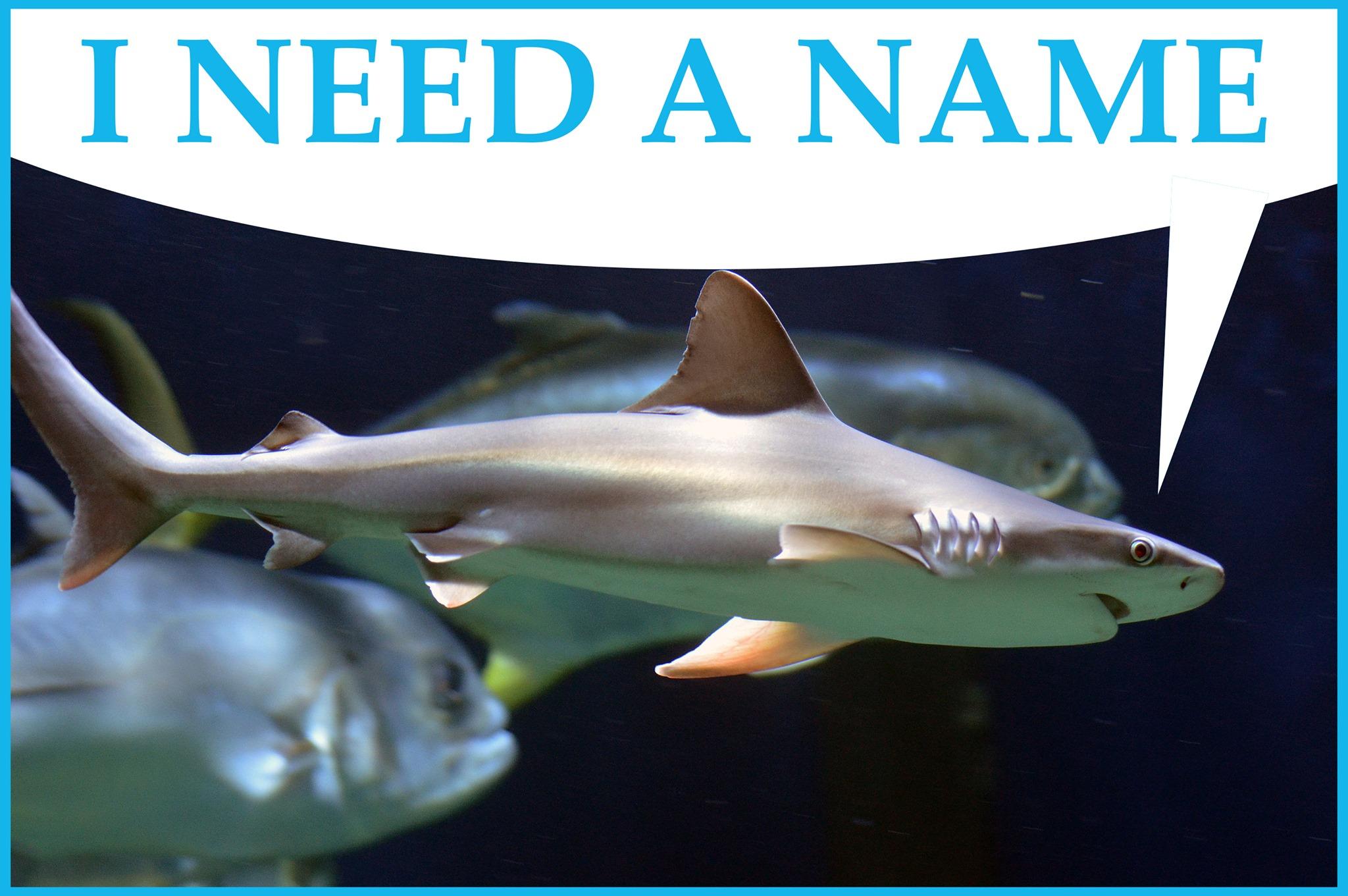 VLM Name Sandbar Shark_1556726401568.jpg.jpg