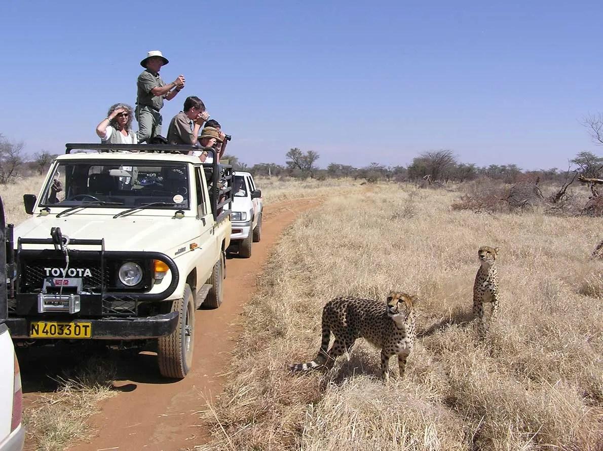 Cheetah Game Drive- Waterberg Landscape