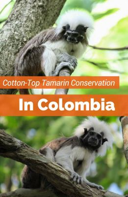 Conservation minded travel in Colombia will bring you to the northern reaches of the endangered Cotton-Top Tamarin monkey habitat