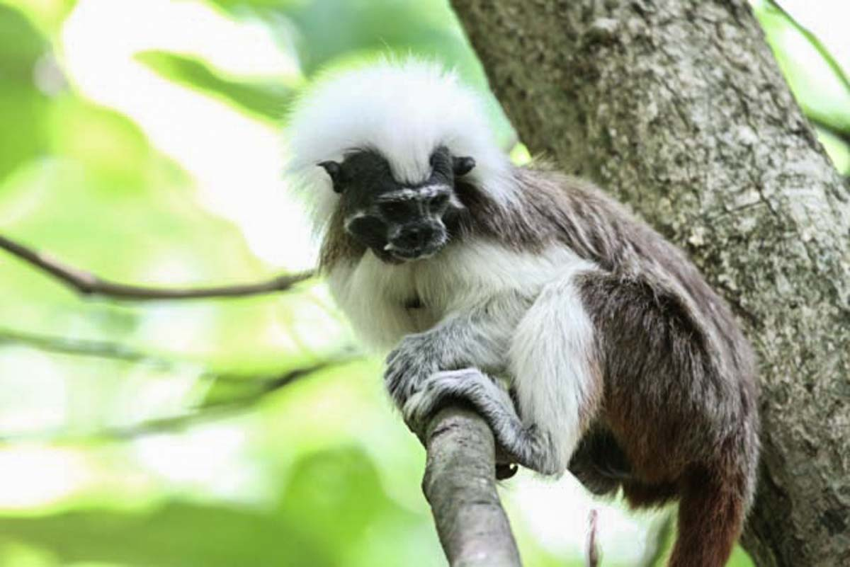 Cotton Top Tamarin Forest Habitat