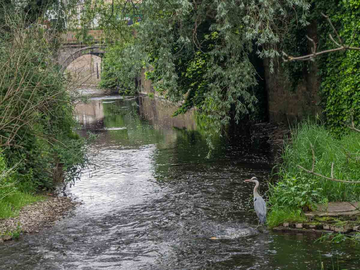 Gray Heron on Water of Leith Walk