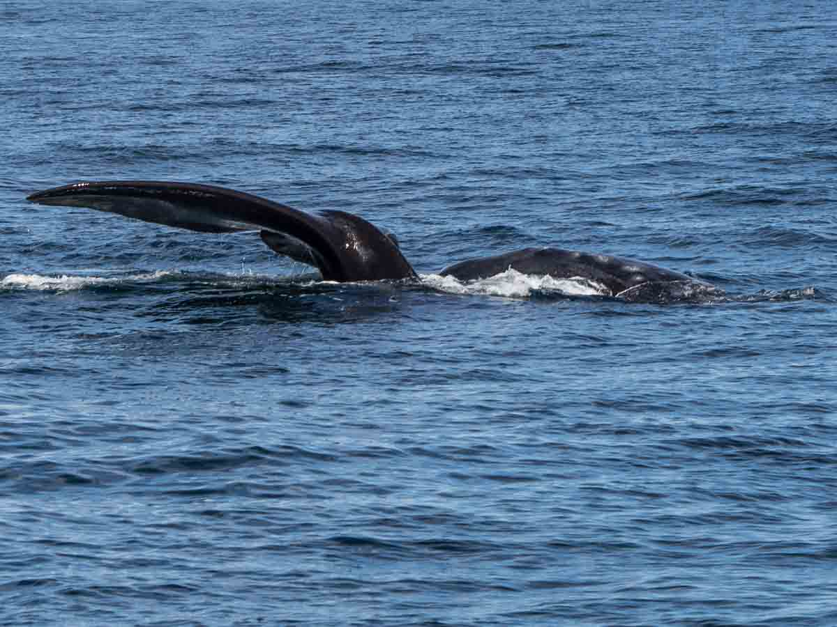 Southern Right Whale Puerto Madryn tour Argentina