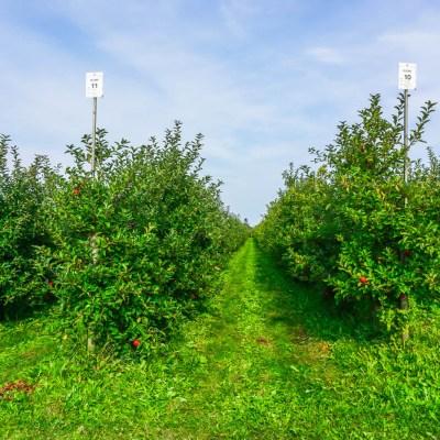 Apple Picking in Altes Land
