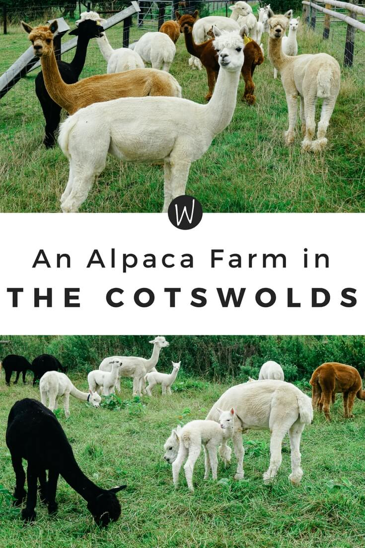 Located in the Cotswolds of England, this charming alpaca farm is the perfect stop on a British road trip! via Wayfaring With Wagner