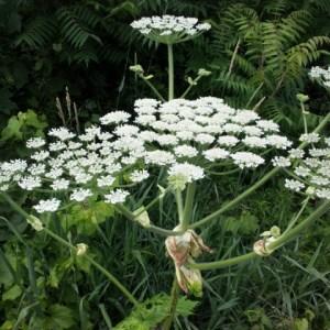 Flower head - Hogweed