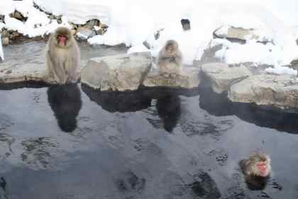Snow monkeys in an onsen