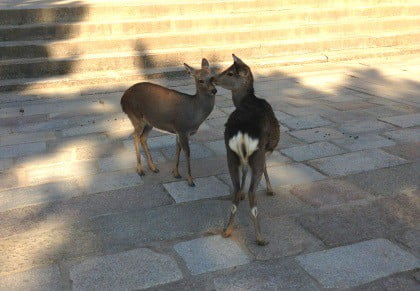 Deer at Todaiji