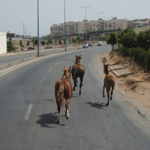 Des chevaux qui galopent, en liberté, sur une grande route de Casablanca. Normal.