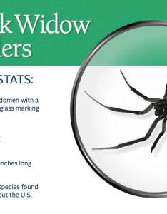 Black widow spider pest id card frontg also southern indiana sees more widows spiders indoors wbiw rh