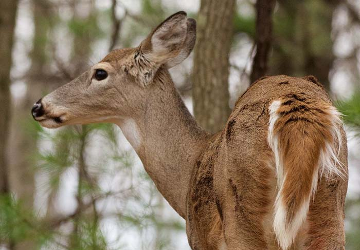 Applications available for controlled deer hunts at 6 WV