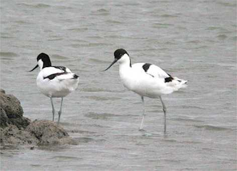 BREEDING AVOCETS IN WORCESTERSHIRE