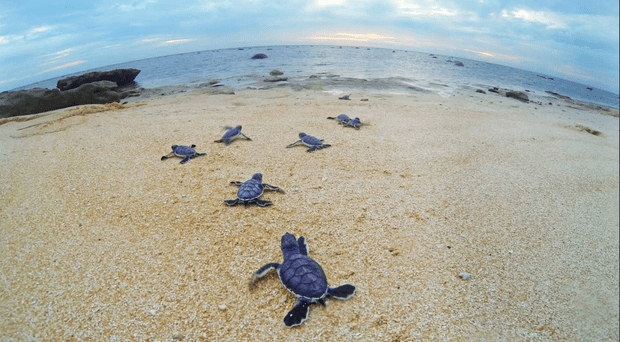 SEA-TURTLES_547545