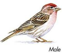 Finch ID  Take a Closer Look - Wild Birds Unlimited ...