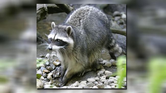 raccoon22_251039