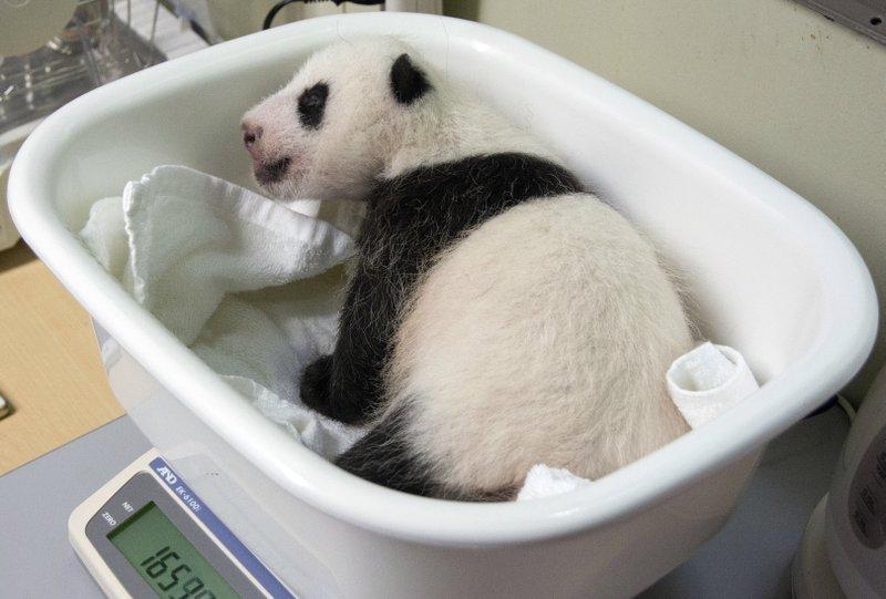 panda_258504