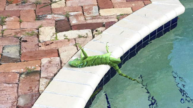 Florida Frozen Iguanas_288706