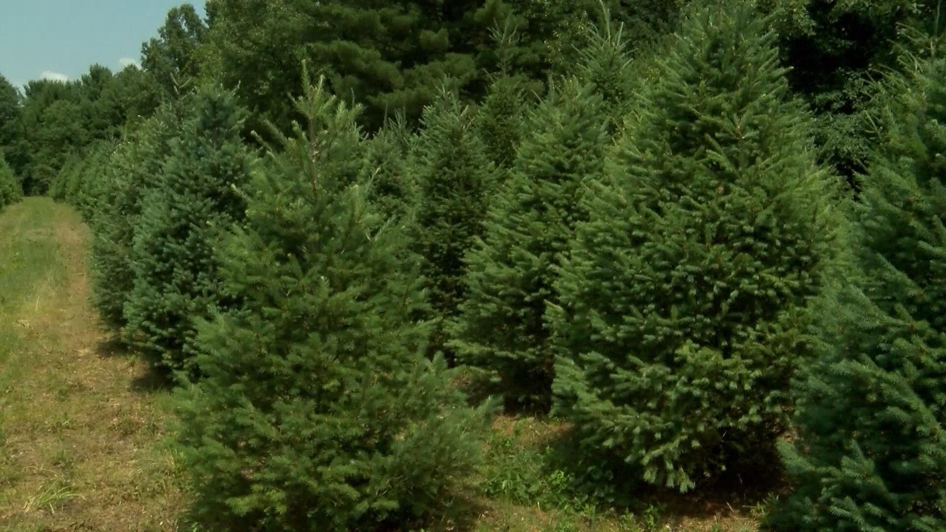 CHRISTMAS TREES_1531750545605.jpg.jpg