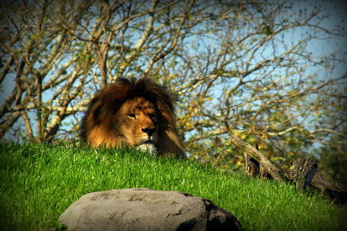 Simba wishes everyone Hakuna Matata! as they pass by in their open-air vehicle on Kilimanjaro Safaris®.