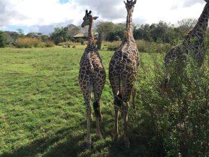 Giraffe ossicones Wild Africa Trek Disneyworld Animal Wild Africa Trek Kingdom