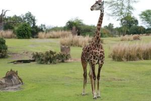 Giraffe on Kilimanjaro Safaris