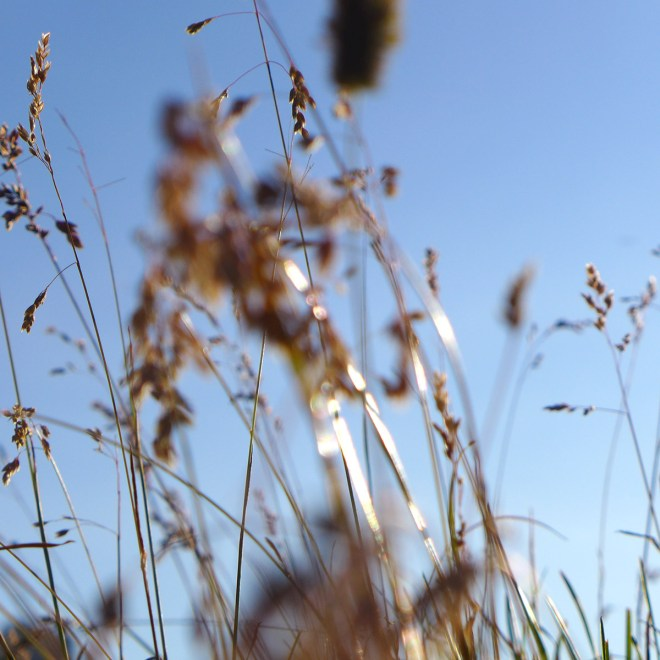 Gräser im Herbst vorm blauen Himmel