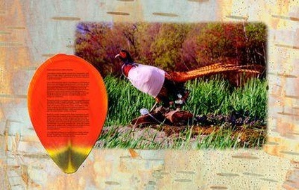 AlterNature-AdamZaretsky-transgenic_orange_pheasant.jpg