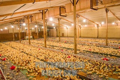 How to Start lucrative Poultry Farming Business in Nigeria