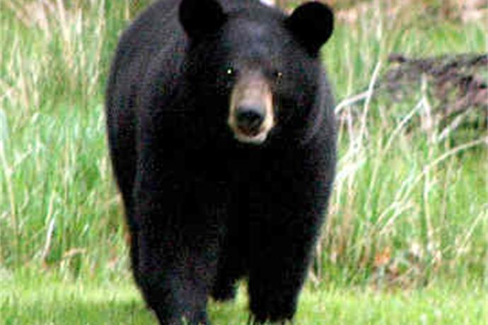 Bear Season Results In_3405165459079971570