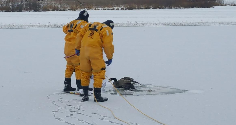 goose stuck in ice_1481910827328.jpg