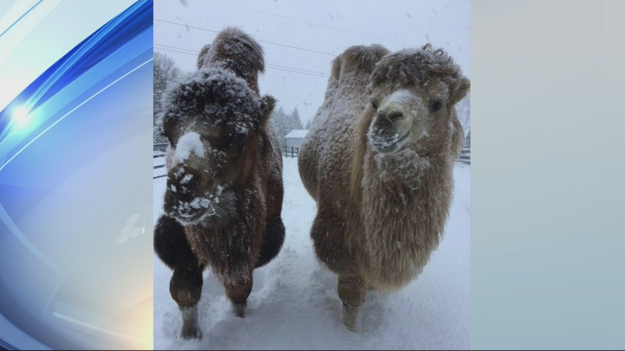 Camels in the snow