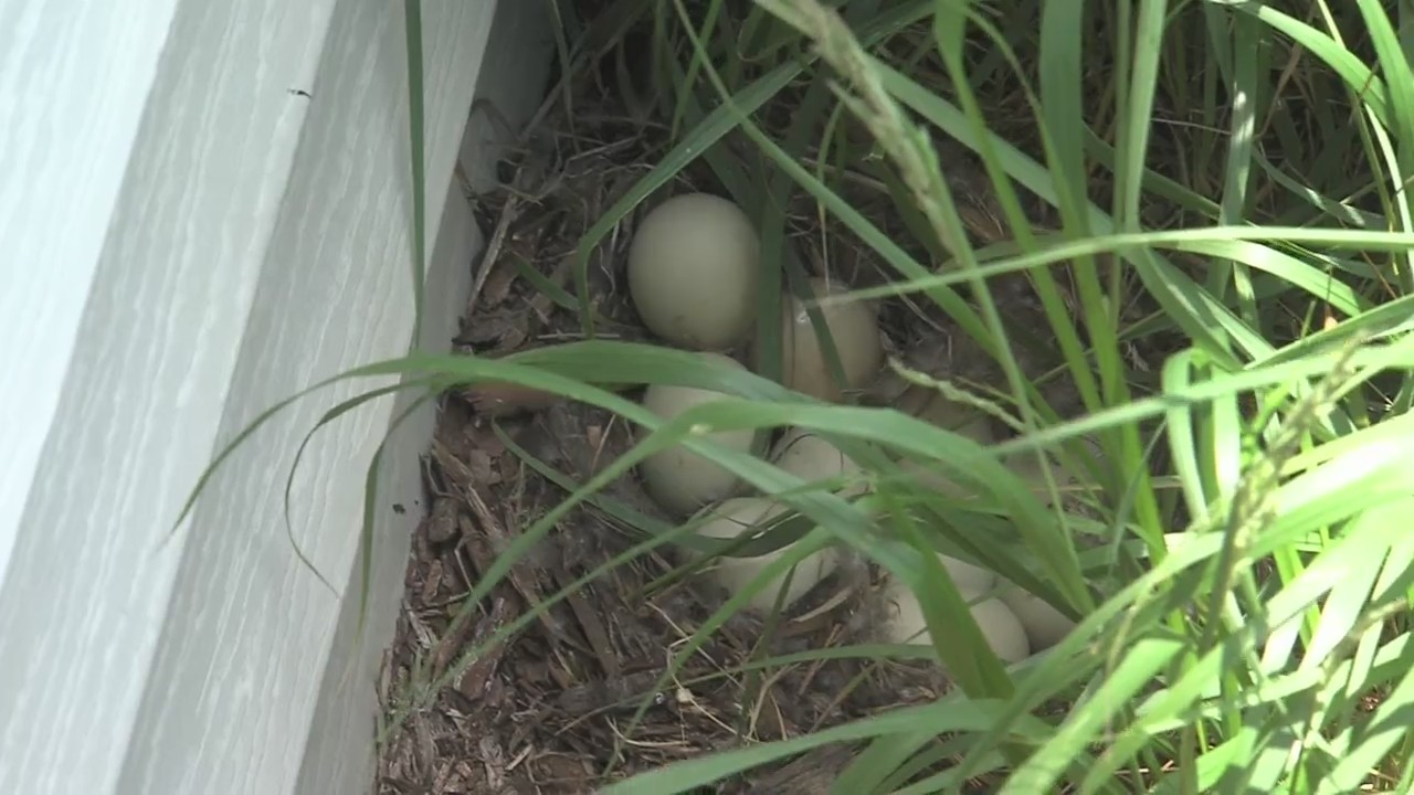 A Duck's Nest Becomes a Summer Learning Experience