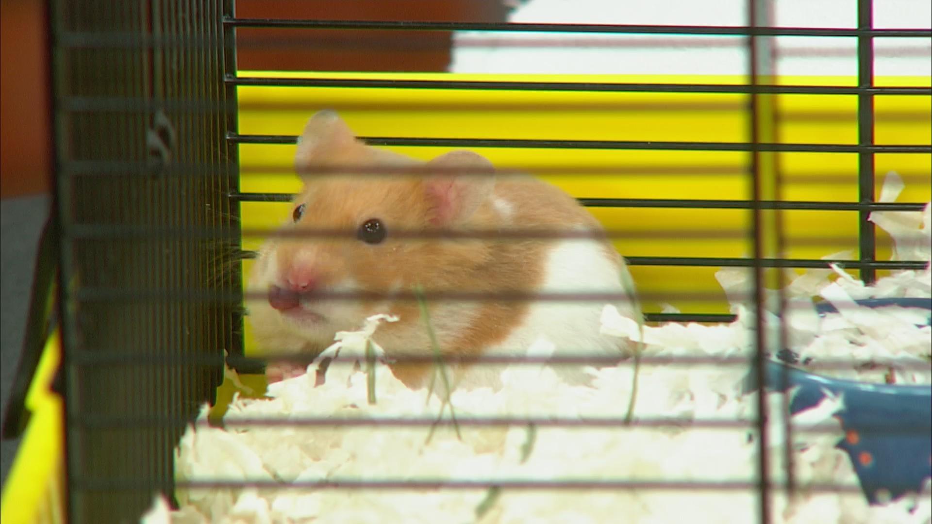 Pet Saver: Hamtaro