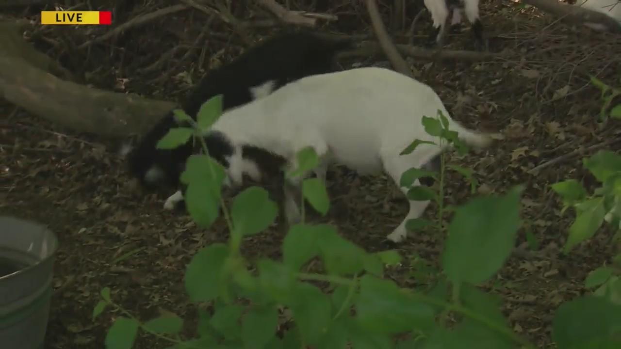 Gobbling Goats