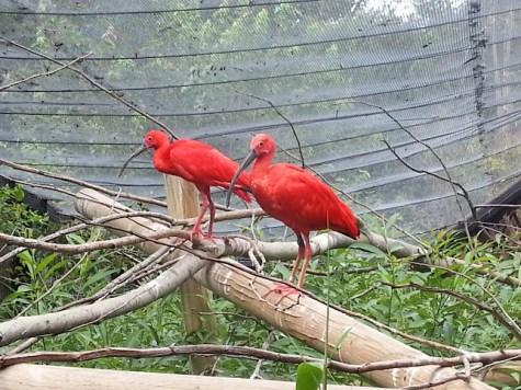red-birds