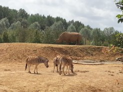 zebras-rhino