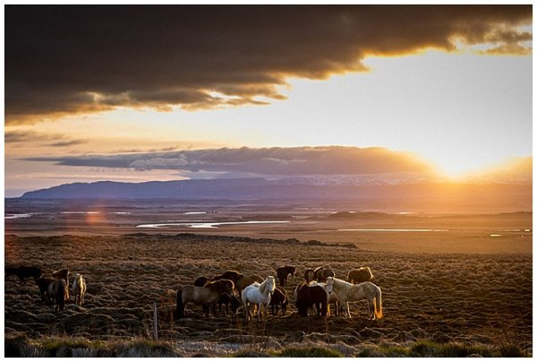 A herd of Icelandic horses graze in the meadows at sunset