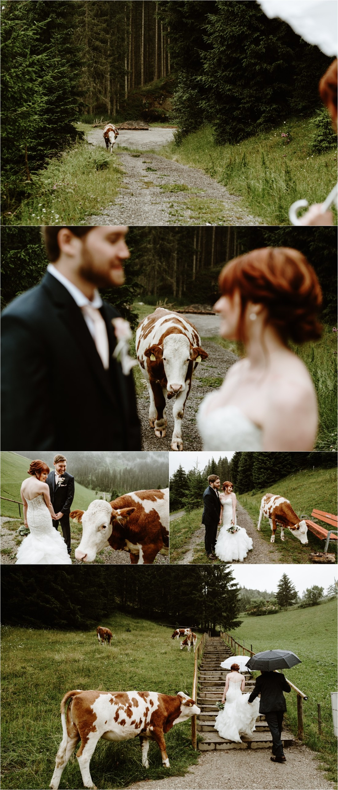 A curios cow follows the bride and groom during their pictures in Gerlos in Austria. Photos by Wild Connections Photography