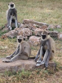 Apen-anuradhapura-sri-lanka