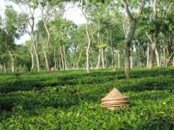 Backpacken Bangladesh theeplantage